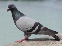 Pigeon Control Herts, North London