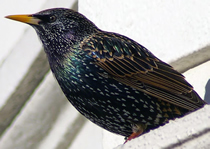 Starling Control Herts, North London